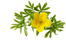 McKay Potentilla royalty free stock photos