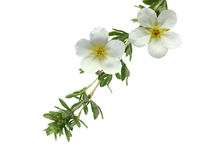 McKay's White Potentilla Flower stock photo