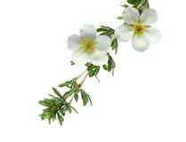 McKay's White Potentilla Flower Stock Photo