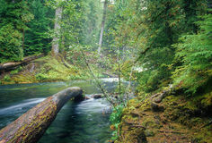 McKenzie River tree Stock Photography