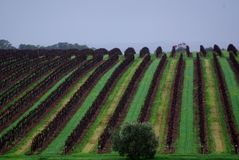 McLaren Vale Vines Royalty Free Stock Images