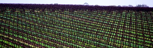 McLaren Vale Vineyard Background. Vineyard in the McLaren Vale wine region of South Australia, featuring freshly picked and clipped vines Royalty Free Stock Image