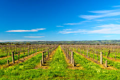 McLaren Vale wineries. Grape vines in McLaren Vale, South Australia Royalty Free Stock Images