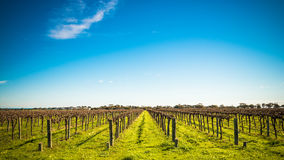 McLaren Vale wineries. Grape vines in McLaren Vale, South Australia Royalty Free Stock Photos