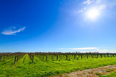 McLaren Vale wineries. Grape vines in McLaren Vale, South Australia Royalty Free Stock Image