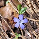 Mclean barwinka Błękitny kwiat 2017 Zdjęcie Stock