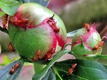 Mclean de mieren op een pioenknop 2016 Stock Foto's