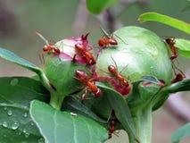 Mclean de rode mieren op een pioenknop 2016 Stock Foto's