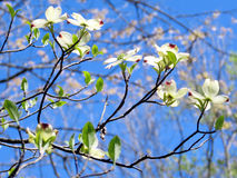 Mclean dogwood flowers 2016 Royalty Free Stock Images