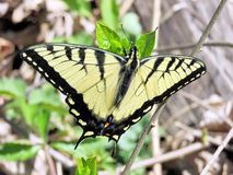 Mclean the Eastern Tiger Swallowtail 2016 Royalty Free Stock Photo
