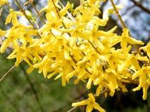Mclean il fiore 2011 di forsythia Fotografie Stock