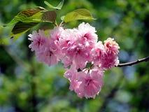 Mclean menchii Sakura kwiat 2016 Obrazy Royalty Free
