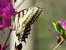 Mclean Wschodni Tygrysi Swallowtail na kwiacie 2016 Obraz Stock