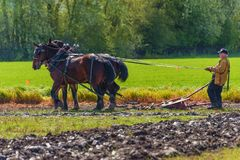 Draft horses pulling a plow guided by a man Royalty Free Stock Image
