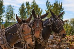 Yamhill County fall Harvest Festival royalty free stock image