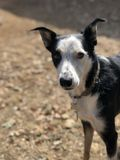 McNabb Border Collie royalty free stock photography