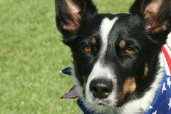 McNabherder Dog Wearing Patriotic Bandana stock foto's