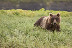 mcneil 2 медведей Стоковое Изображение