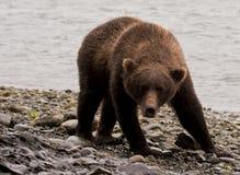 McNeil Bear #1 Royalty Free Stock Photography