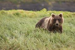 McNeil Bear #2 Stock Image