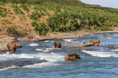 McNeil River falls. Multiple bears fish for salmon in the summer at McNeil River falls in Alaska Royalty Free Stock Images