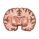Móżdżkowa anatomia. Obraz Royalty Free