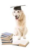 Mądry Labrador retriever na isolsted bielu Obraz Royalty Free