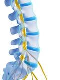 Médula espinal destacada Imagen de archivo libre de regalías