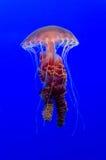 méduses Photographie stock libre de droits