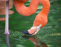 Is That me?. Colorful water reflection of a Flamingo drinking water Royalty Free Stock Images