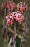 Mãe da flor de milhões Foto de Stock Royalty Free