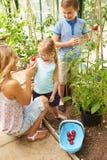 Mãe e crianças que colhem tomates na estufa Fotos de Stock Royalty Free