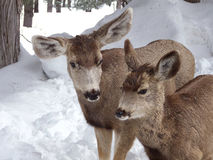 Me and Mom. Doe and her yearling in the snow covered woods royalty free stock photo