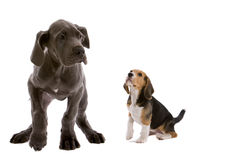 Me and my big friend. Adorable young pups; great dane and a beagle together Royalty Free Stock Images