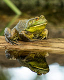 Me and My Reflection. Still waters create a perfect reflection of this bullfrog sitting on a log Stock Photos