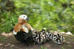 Mãe-pato Fotografia de Stock Royalty Free