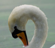 Me a swan, oh go on Stock Photography