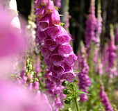 Mead with purple and white foxgloves Royalty Free Stock Photos