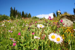Meadow. An alpine meadow of Whistler wildflowers. Shallow depth of field royalty free stock photography