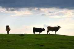The meadow. Cattle grazing on the fresh mountain grass under a dark storm cloud stock photography