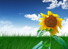Meadow. Harvest sunflower on green field on background sky Royalty Free Stock Image