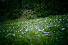 Meadow. In the mountains with small wildflowers and evergreen trees in background,sloping hill Royalty Free Stock Photos