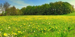 Meadow. A panoramic view of a lush green meadow covered with yellow dandelions Royalty Free Stock Photography