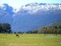 Meadow. Stags in the meadow, New Zealand Stock Images