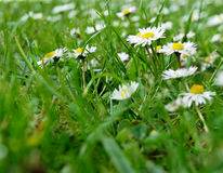 Meadow. Green grass and flowers Stock Photo