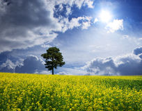 Meadow. A be single tree is in the yellow field Royalty Free Stock Image