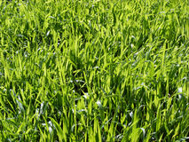 Meadow. Spring green meadow grass in the open field Royalty Free Stock Image