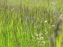 meadow Obraz Royalty Free