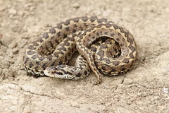 Meadow adder on ground Royalty Free Stock Photos