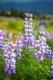 Meadow on Alaska Royalty Free Stock Image